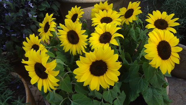 sunflower-368894_640